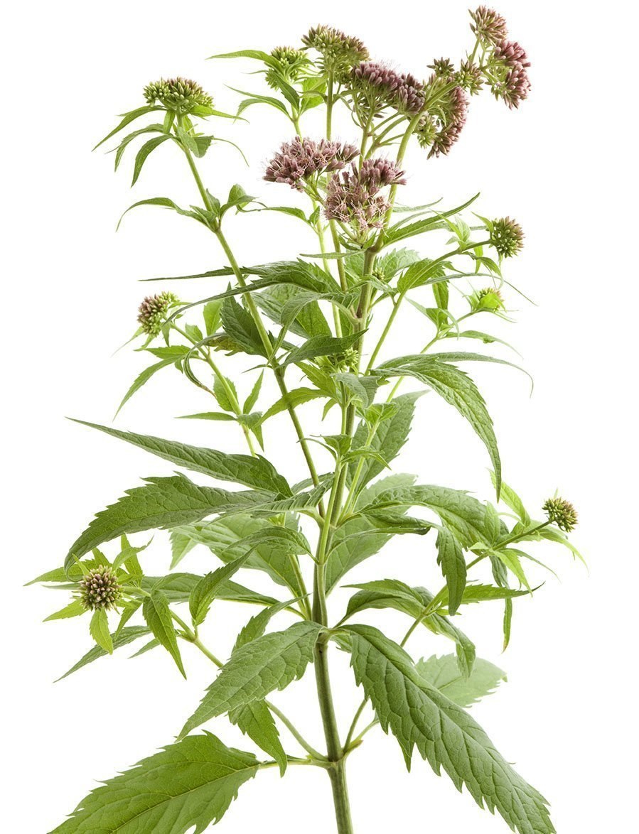 Flowering Hemp Agrimony
