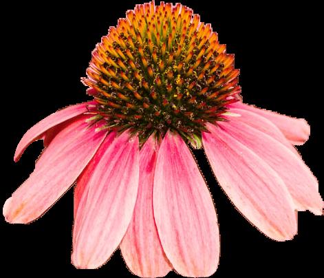 prod-chlor-echinacea